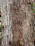 Wyróżniający wzór odwiecznie cel niszczeje na czerwonego klonu drzewnym bagażniku zdjęcia stock