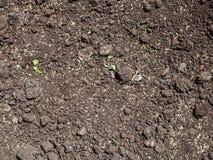 Wysiewni traw ziarna w rozchwianej ziemi gazon Zdjęcia Royalty Free