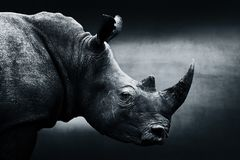 Wysoce ostrzegający nosorożec monochromu portret zdjęcie stock