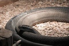 Wysoce venomous wąż - Czarny mamba w terrarium zdjęcia stock