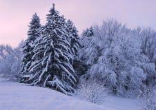 Wysocy świerkowi drzewa i śnieżyści drzewa Zdjęcie Royalty Free