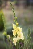 Wysocy żółci kwiatów gladioli przeciw naturalnemu tłu Fotografia Royalty Free