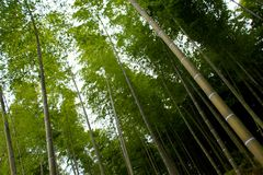 Wysocy bambusowi drzewa przy Kyoto Fotografia Royalty Free