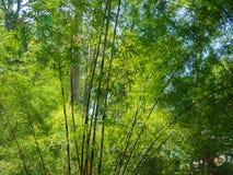 Wysocy bambusowi drzewa w drewnach, z światłem słonecznym w tropikalnym lesie Zdjęcie Royalty Free