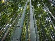 Wysocy bambusy Obrazy Royalty Free
