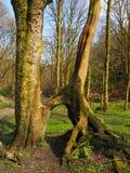 Wysocy bukowi drzewa z łączącymi odsłoniętymi kręconymi korzeniami w trawie zakrywali lasową polanę w jaskrawym wczesnym wiosny ś fotografia stock