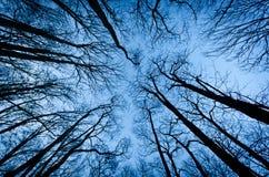 wysocy drzewa Fotografia Royalty Free