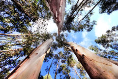 wysocy drzewa zdjęcia stock