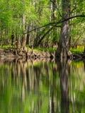 Wysocy drzewa Along Nawadniają krawędź, Cedrowa zatoczka, Congaree park narodowy Zdjęcia Royalty Free