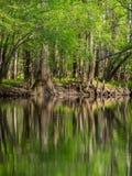 Wysocy drzewa Along Nawadniają krawędź, Cedrowa zatoczka, Congaree park narodowy Obrazy Royalty Free