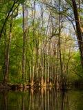 Wysocy drzewa Along Nawadniają krawędź, Cedrowa zatoczka, Congaree park narodowy Obraz Stock