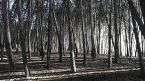 WYSOCY drzewa - ARBOLES alty fotografia stock