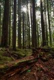 Wysocy drzewa i zbutwiała redwood nazwa użytkownika przedpole i słońca jaśnienie między drzewami w Hoh lesie tropikalnym obrazy royalty free