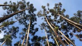 Wysocy drzewa r niebo fotografia stock