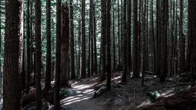 Wysocy drzewa w ciemnym lesie zdjęcie royalty free