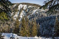 Wysocy drzewa w kierunku gęsto zalesionej góry z udziałami śnieg obraz royalty free