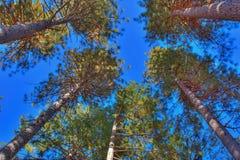 Wysocy drzewa w lesie Zdjęcie Stock