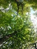 Wysocy drzewa w niebie Obraz Royalty Free