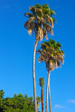 Wysocy drzewka palmowe na St Tomasowskiej wyspie, USVI Zdjęcie Stock