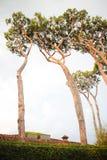 Wysocy iglaści drzewa zdjęcia stock