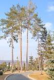 Wysocy jedlinowi drzewa Obrazy Stock