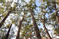 Wysocy Karri drzewa: Walpole pustkowie zdjęcia stock