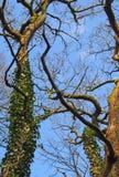 Wysocy kręceni zimy plaży drzewa z wspinaczkowym bluszczem w światło słoneczne pozyci przeciw bight niebieskiemu niebu z białymi  zdjęcia stock