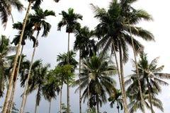 Wysocy palmtrees przez niebo Obraz Stock