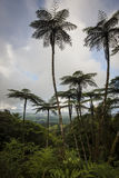 Wysocy Paprociowi drzewa Fotografia Stock