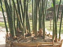 Wysocy pionowo bambusowi krótkopędy w Wietnam Obraz Stock
