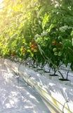 Wysocy pomidorowi krzaki z dojrzenie owoc pomidorami w szklarni ochraniający glebowi sześciany nawadnia kapinos obraz stock