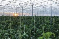 Wysocy pomidorowi krzaki z dojrzenie owoc pomidorami w szklarni ochraniający glebowi sześciany nawadnia kapinos zdjęcie stock