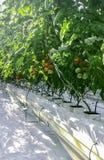 Wysocy pomidorowi krzaki z dojrzenie owoc pomidorami w szklarni ochraniający glebowi sześciany nawadnia kapinos zdjęcia stock