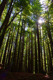 Wysocy Redwoods Obrazy Royalty Free
