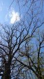 Wysocy starzy dęby przeciw błękitnemu wiosny niebu Obrazy Stock