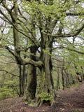 Wysocy starzy dostojni bukowi drzewa z wibrujący zielony mech zakrywającą wiosna liści barkentyną i ampuła korzenie w zbocze lesi Obrazy Royalty Free