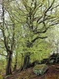 Wysocy starzy dostojni bukowi drzewa z wibrujący zielony mech zakrywającą wiosna liści barkentyną i ampuła korzenie w zbocze lesi Zdjęcia Royalty Free