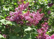 Wysocy starzy jedlinowi drzewa w wiosna parku Obrazy Stock