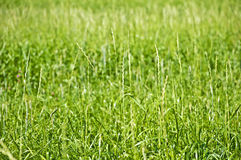 Wysocy wheatgrass, energetyczna trawa zdjęcie royalty free