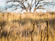 Wysocy ziarno badyle wśród Preryjnych traw Obraz Royalty Free