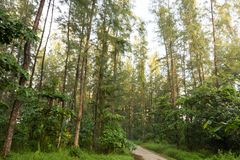 Wysocy zieleni drzewa w lesie w Coney Island, Singapur Fotografia Stock