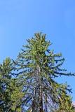 Wysoka świerczyna w lesie fotografia stock