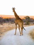 Wysoka żyrafa na drodze gruntowej z południe - afrykanina krajobraz behind Fotografia Royalty Free
