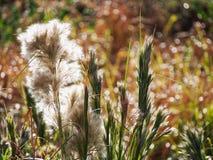 Wysoka Brushy Bluestem trawa w późnego lata słońcu Zdjęcia Royalty Free