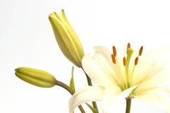 wysoka kluczowe lily Zdjęcie Stock
