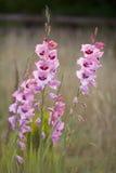 Wysoka menchia kwitnie gladioli przeciw niememu tłu Fotografia Royalty Free