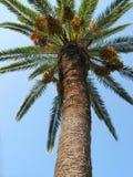 wysoka palma Fotografia Royalty Free