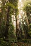 Wysoka Redwood drzew sceneria Zdjęcia Royalty Free