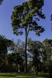Wysoka sosna w Retiro parku madryt Hiszpanii Obraz Royalty Free