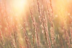 Wysoka sucha trawa, ziarna piękna trawa zaświecał światłem słonecznym Zdjęcie Royalty Free